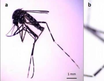 La importancia médica en la detección de una nueva especie de mosquito